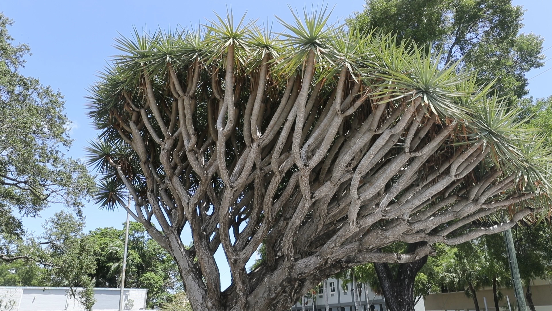 Rare Dragon Blood Tree Must Come Down Fort Lauderdale Told South Florida Sun Sentinel South Florida Sun Sentinel