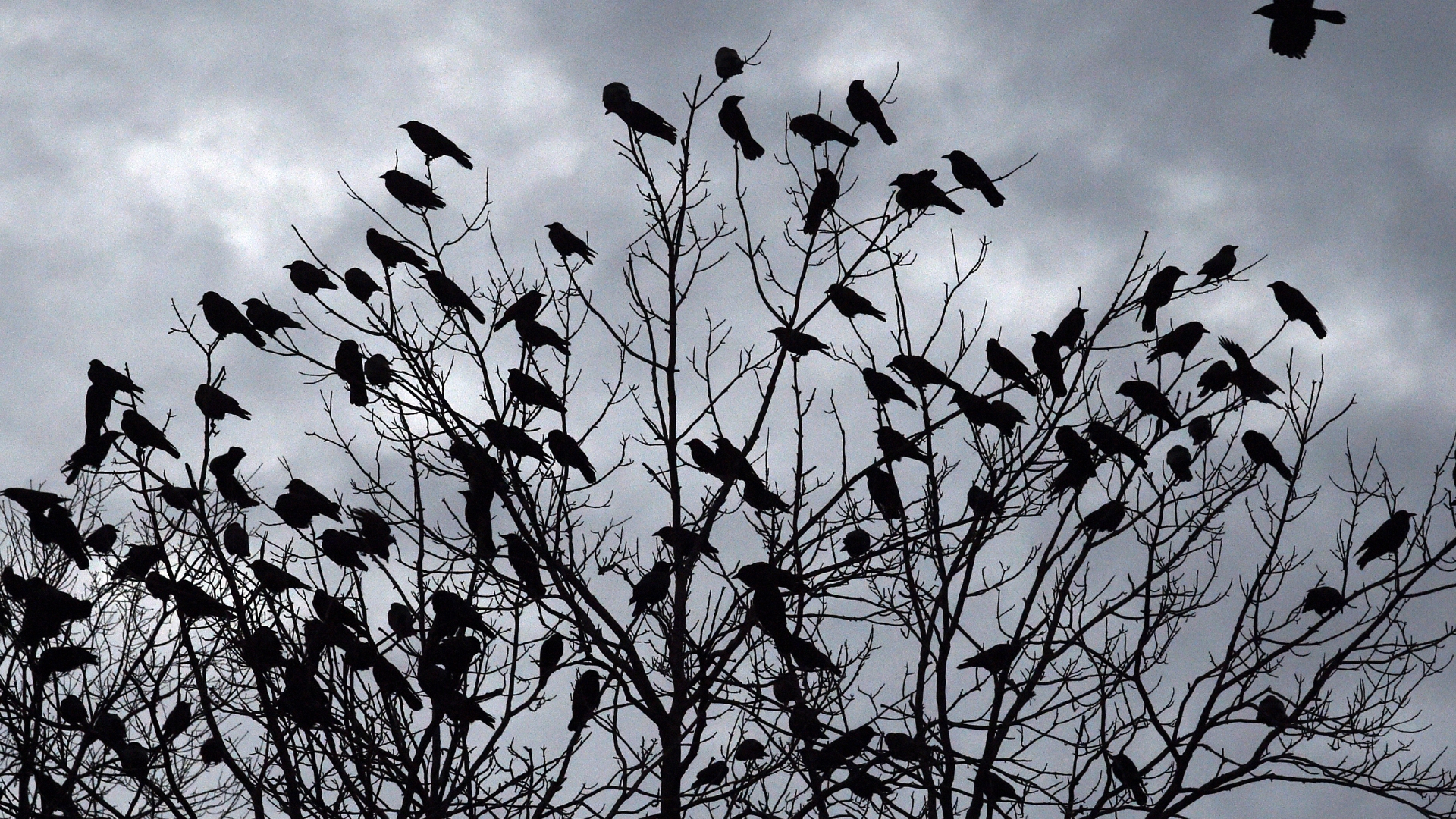 Thousands of crows have descended on Hartford for a spooky, noisy and  mysterious 'winter roost;' here's why - Hartford Courant